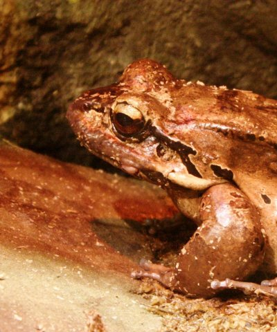 Detroit Zoo | Mountain Chicken Frog