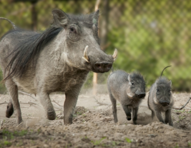 The Detroit Zoo | Warthogs