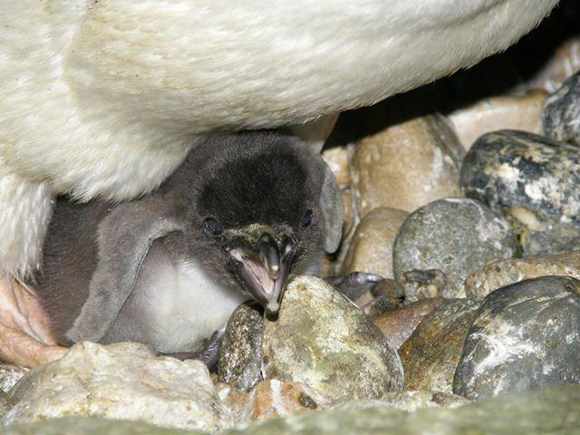 Penguin Hatch Detroit Zoo