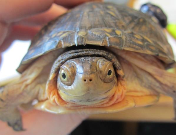 UM-Flint Biologists Track the Blanding's Turtle.